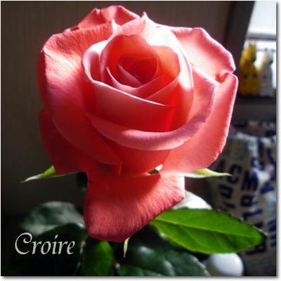 rose-1.jpg