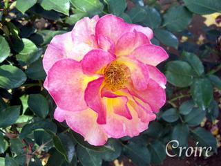rose-11.jpg