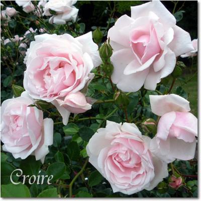 rose-14-newdawn.jpg