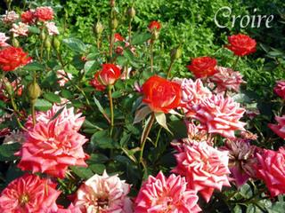 rose-14.jpg