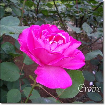rose-15-pinkpeace.jpg