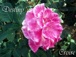 rose-15a.jpg