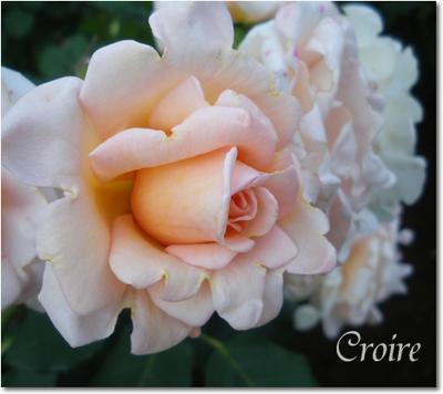rose-16-kotone.jpg