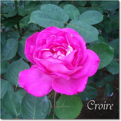 rose-17-christiandior.jpg