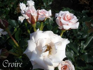 rose-17.jpg