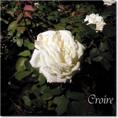 rose-20-royalprincess.jpg