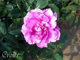 rose-20.jpg