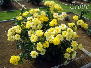 rose-21.jpg