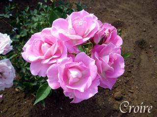 rose-23.jpg