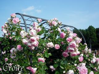 rose-24.jpg