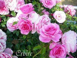 rose-28.jpg