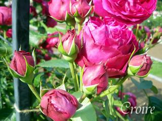 rose-29.jpg
