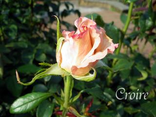 rose-30.jpg