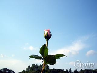 rose-31.jpg