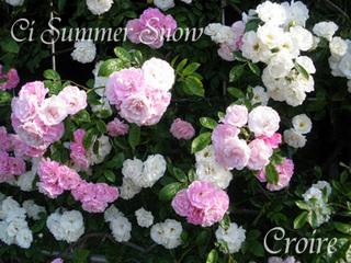 rose-33a.jpg