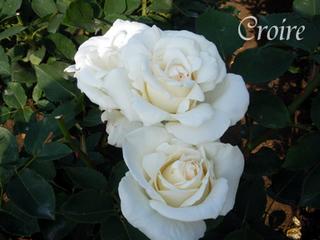 rose-35.jpg