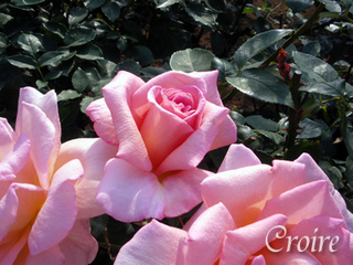 rose-37.jpg