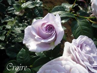 rose-38.jpg