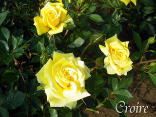 rose-39.jpg
