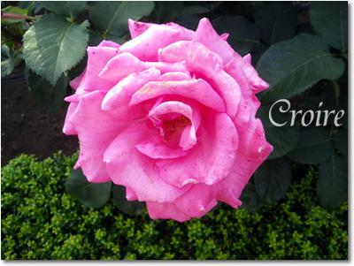 rose-4-hojun.jpg