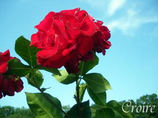 rose-40.jpg