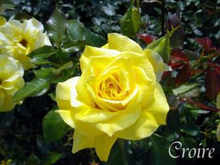 rose-41.jpg