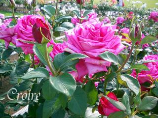 rose-45.jpg