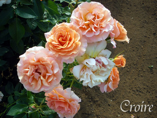 rose-46.jpg
