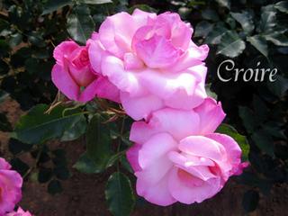 rose-47.jpg
