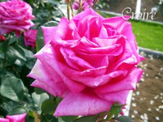 rose-48.jpg