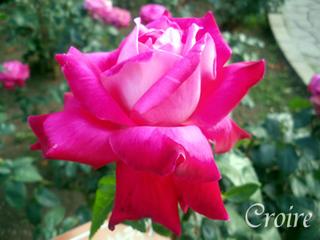rose-49.jpg