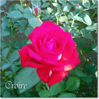 rose-5-merina.jpg