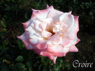 rose-50.jpg