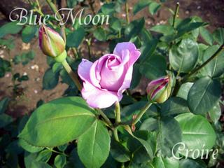 rose-51a.jpg