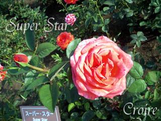 rose-52.jpg