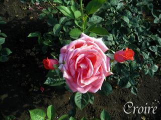 rose-53.jpg