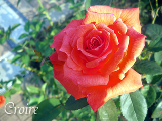 rose-54.jpg