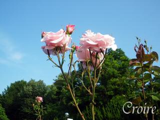 rose-56.jpg