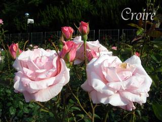 rose-57.jpg