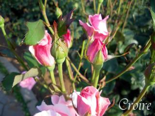 rose-58.jpg