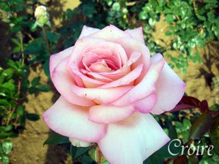 rose-59.jpg