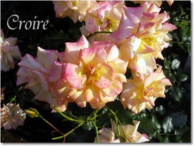 rose-6-sahara.jpg