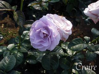 rose-60.jpg