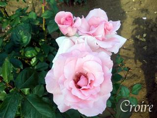rose-61.jpg