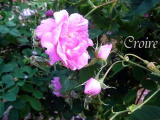 rose-63.jpg