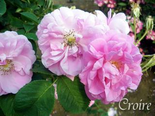 rose-64.jpg