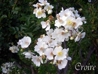 rose-67.jpg