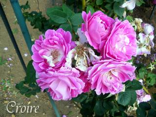 rose-68.jpg