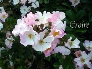 rose-69.jpg