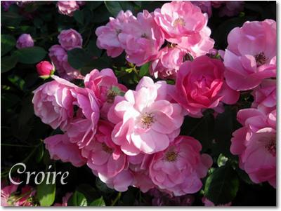 rose-7-angela.jpg